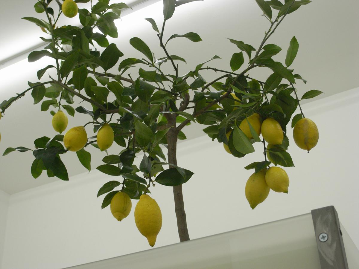 Il Giardino dei Sensi, 2008, (detail) glass, steel, earth, lemon tree, wood, cm 210 x 85 x 85